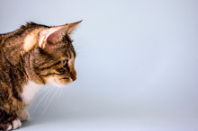 Striped Domestic Cat, Side View, Close-up On A Plain Blue Background. Copy Space
