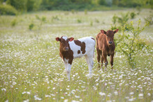 Two Calves On A Green Chamomile Meadow