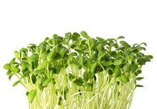 Fresh Microgreens Of Sunflower...