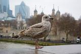 Fototapeta Londyn - szara mewa na tle twierdzy tower