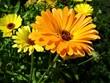 Bright flower of calendula