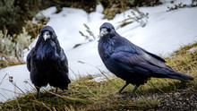 Couple Of Crows In Yellowstone...