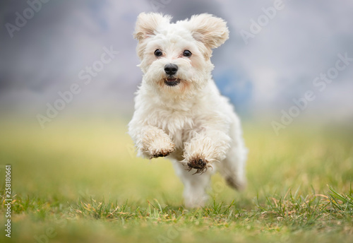 Canvas Print Portrait of a dog