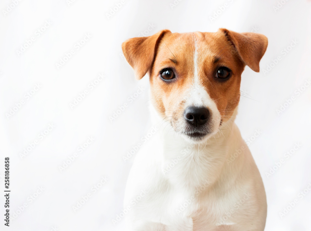 Fototapety, obrazy: Dog on white background