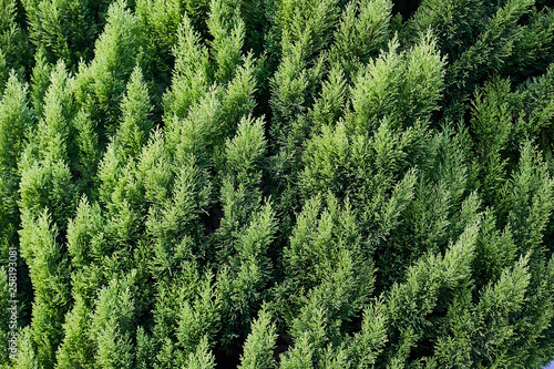 Papiers peints Forets Closeup of green christmas leaves of Thuja trees on green horizontal background