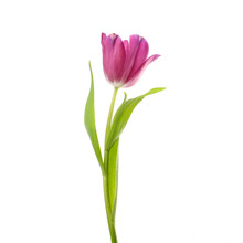 Lilac Tulip Flower Head Isolated On White