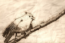 Sketch Of A Young Tufted Titmouse Singing In A Tree