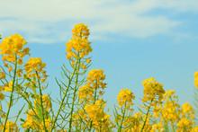 空に菜の花