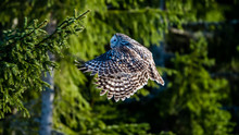 Ural Owl Flying In The Fir For...