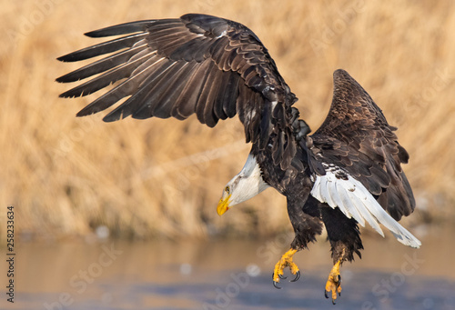 Poster Aigle Eagles