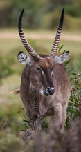 Male Waterbuck Eating Green Le...