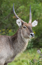 Male Waterbuck With Long Horns...