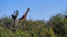 A Giraffe Looking Over The Tre...
