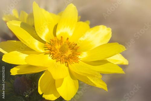 A flower of Adonis vernalis, known variously as yellow pheasant's eye Wallpaper Mural