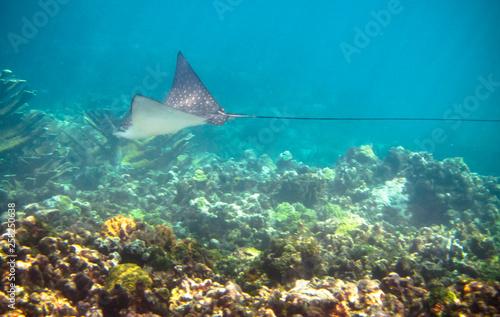 Fotografie, Obraz  A spotted eagle ray (Aetobatus narinari) swims along the coral reef in the Carribean Sea