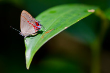 A Hairstreak Butterfly (Calyco...