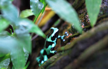 A Green And Black Poison Dart Frog (Dendrobates Auratus) Among The Vegetation In Costa Rica.