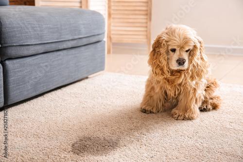 Fototapeta Cute dog near wet spot on carpet obraz