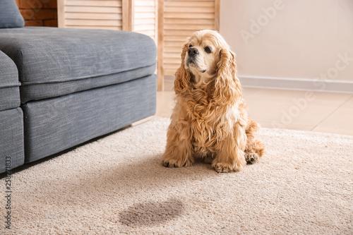 Obraz Cute dog near wet spot on carpet - fototapety do salonu