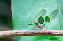 A Leafcutter Ant Carries A Large Piece Of A Plant To Its Colony. Tortuguero National Park, Costa Rica.