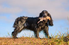 The Hunting Dog Is Holding The Wounded Fowl In Its Mouth In Outdoors. The Female Spaniel With The Caught Quail In Its Teeth Is In Rural.