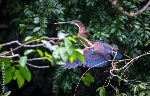 An agami heron (Agamia agami) takes flight in the jungle in Belize Wallpaper Mural