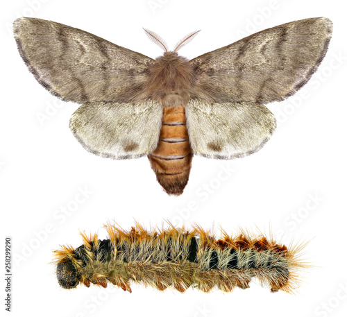 Pine processionary moth, Thaumetopoea wilkinsoni (Lepidoptera: Thaumetopoeidae). Adult moth and larva isolated on a white background
