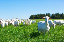 Large Herd Of White Goats In S...