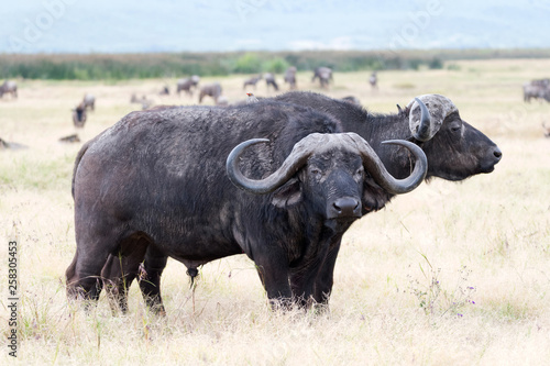 Canvas Prints Buffalo Buffalos