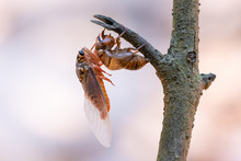 Cicada Sloughing Off  Its Gold...