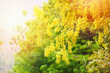 Leinwanddruck Bild - Golden Shower Tree in the summer / Cassia fistula