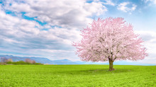 Japanese Cherry Sakura In Bloom. Flowering Tree Of Japanese Sakura In Spring. One Tree On Green Meadow.Single Or Isolated Cherry Tree On The Horizon. Landscape, Scenery Or Countryside In Spring Time.