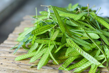 Fruit Of Leucaena Leucocepphala Seed For Food In Asia / White Popinac