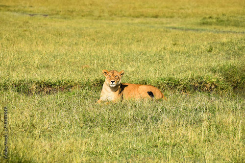 Photo  Wild female Lioness laying in grass in the Masai Mara National Game Park, Kenya,