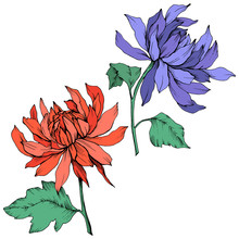 Vector Red And Blue Chrysanthe...