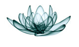 Fototapeta Kwiaty - x-ray image of a flower  isolated on white, the lotus 3d illustration.