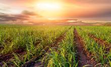 Sugar Farm Field On Sunset Time