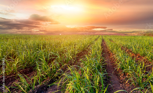 Montage in der Fensternische Honig sugar farm field on sunset time