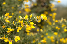 Sprig Of Yellow Gorse Flowers