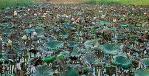 Fotografia  Many Lotus drought in the field