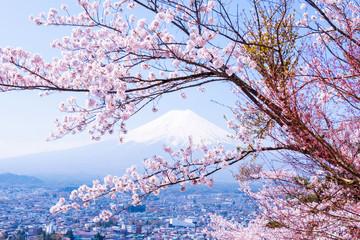 FototapetaSakura tree in Japan. Blooming cherry blossom flower in the garden on Spring.