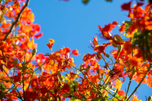 Delonix Regia Or Flame Tree Branch With Red Flowers And Blue Sky Background