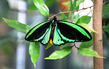 An Adult Male Cairns Birdwing Butterfly (Ornithoptera Euphorion) Resting On A Leaf.