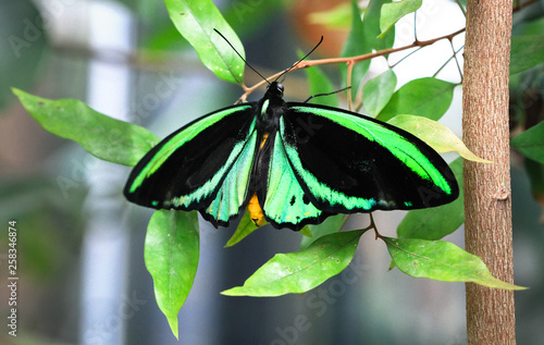 Photo An adult male Cairns birdwing butterfly (Ornithoptera euphorion) resting on a leaf