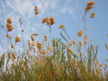 Field Of Tall Golden Grass