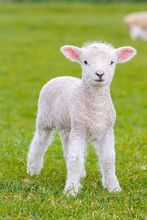 A Very Young, Small Lamb