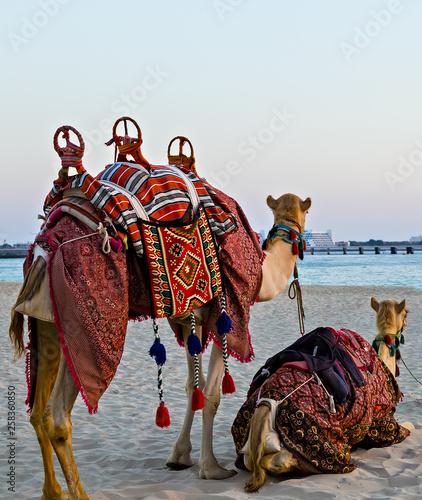 Fotografija  camel resting on Dubai Marina Beach