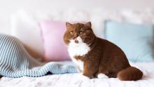 4 Monate Alte BKH Katze Kitten - Sehr Kräftig Und Typvoll