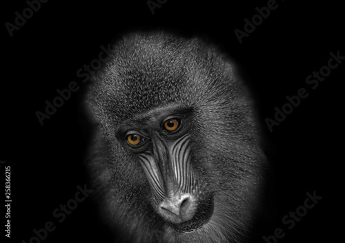 africa,african,alive,animal,anthropoid,baboon,background,beautiful,big,black,car Wallpaper Mural