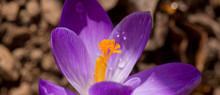 Macro Shot Of Purple Crocus In...